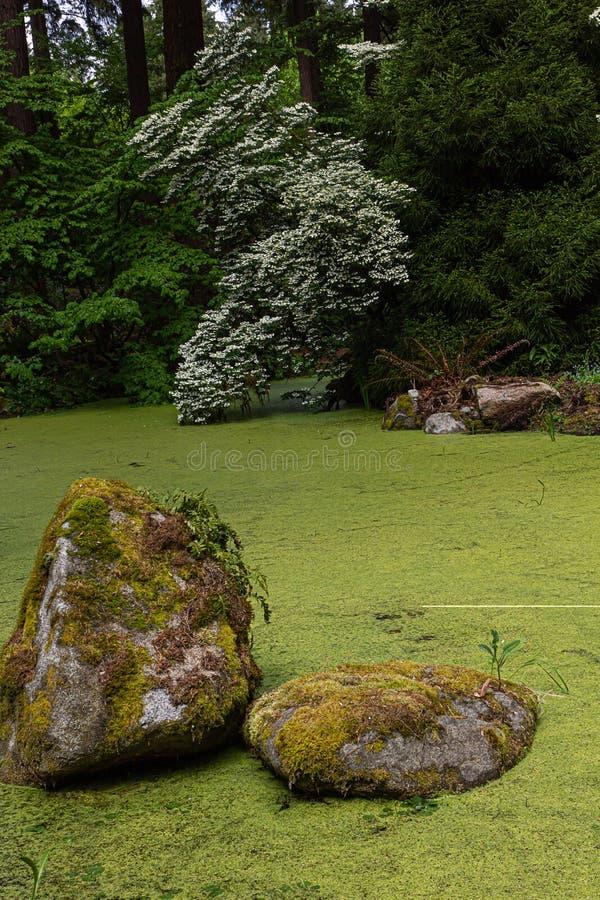 Jaskrawy - zielony staw z dużymi skałami zakrywać w duckweed otaczającym drzewami w ogródzie zdjęcia royalty free