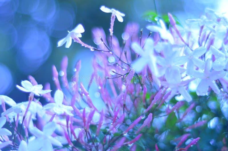 Jasmijn in de regen stock foto