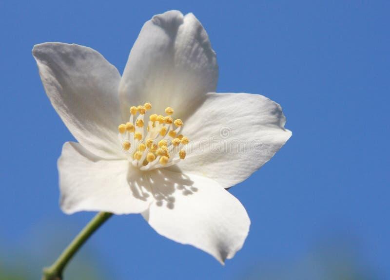 Jasmijn op een zonnige dag stock fotografie