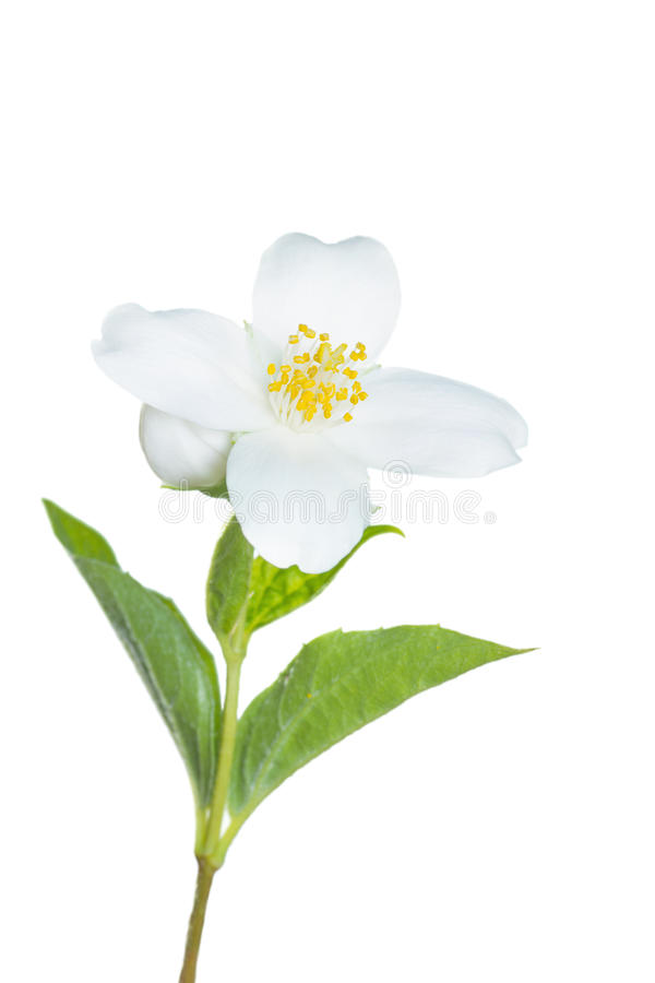 Jasmijnbloem op wit wordt geïsoleerd dat royalty-vrije stock fotografie