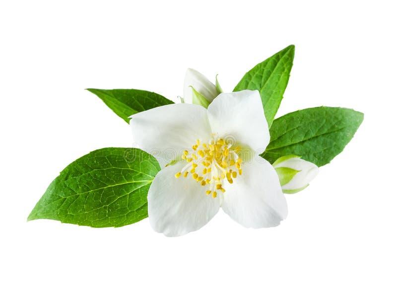 Jasmijnbloem op witte achtergrond royalty-vrije stock afbeelding