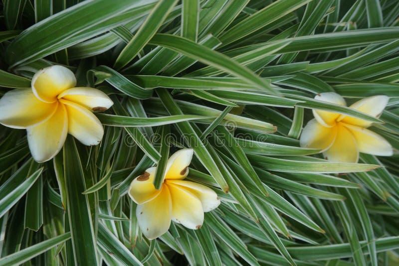jasmijnbloemen op groen gras stock afbeeldingen