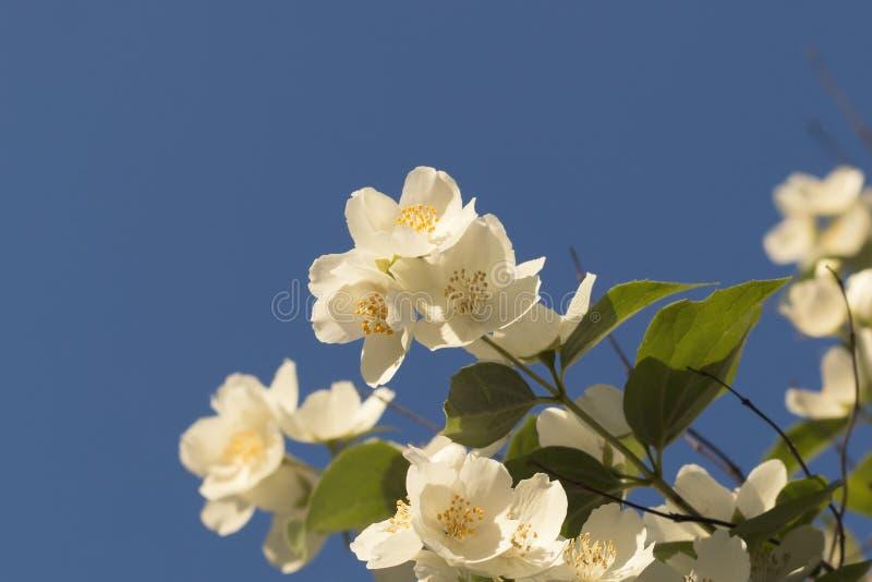 Jasmijnbloemen tegen blauwe hemel met exemplaarruimte stock foto's
