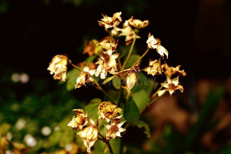 Jasmijnbloemen van witte aan bruine kleur worden vernietigd die stock afbeeldingen