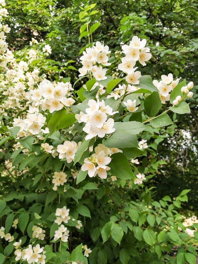 Jasmijnstruik | zonneschijn gemaakte bloemen stock foto's
