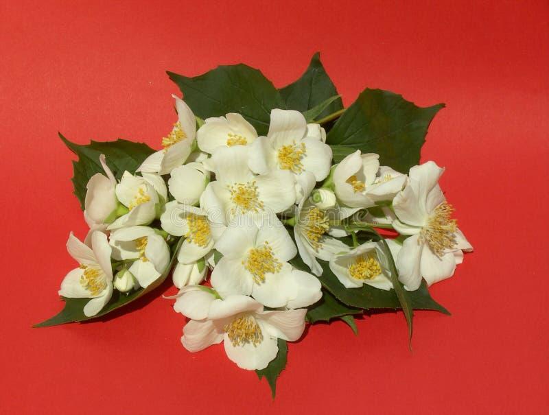 Jasmin 01. Small branch of jasmin flowers royalty free stock photo