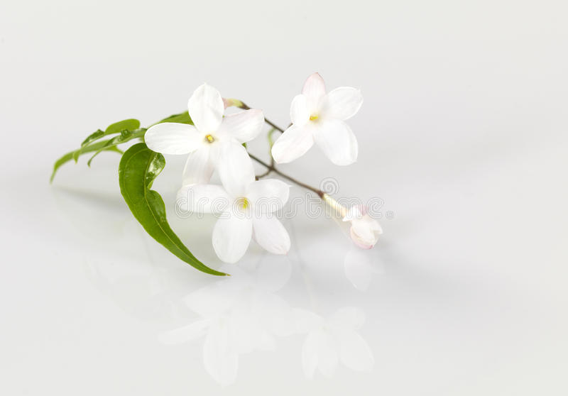 Jasmin royalty free stock images