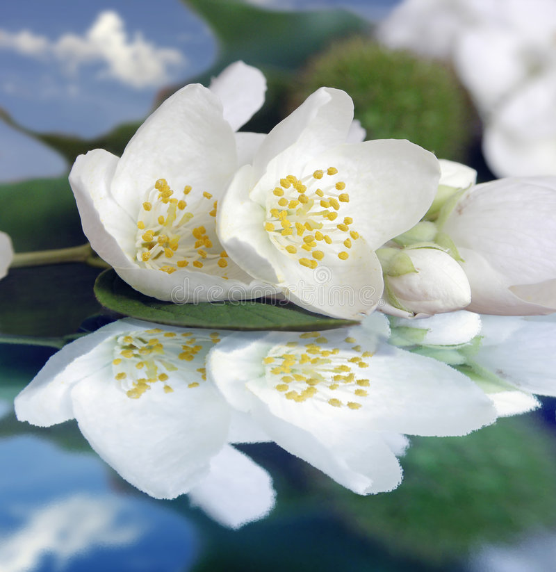 Jasmin. Flower reflection in waters stock image