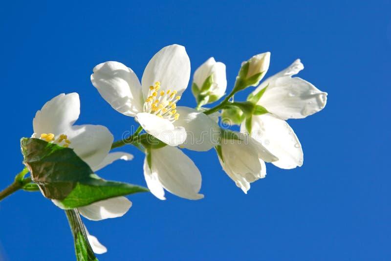 Jasmin against blue sky. Jasmin branch against blue sky royalty free stock photography