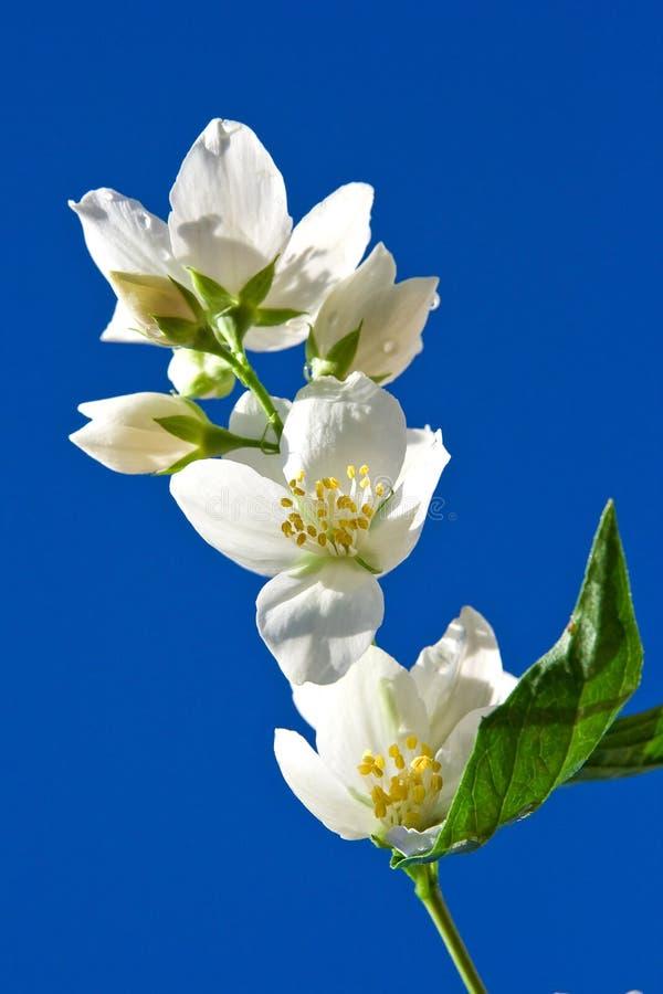 Jasmin against blue sky. Jasmin branch against blue sky royalty free stock images