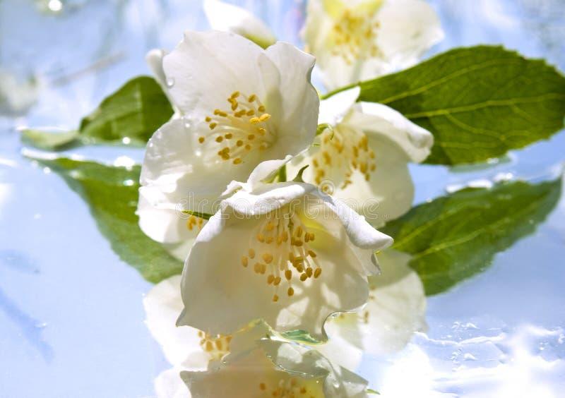 Jasmin aromatherapy photographie stock