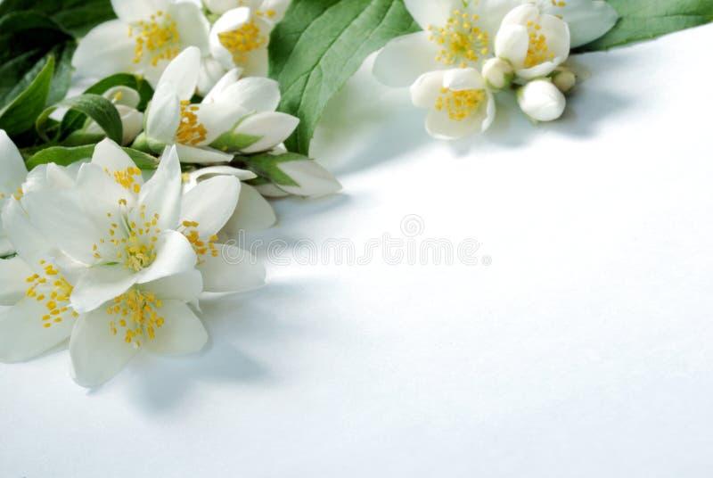 Jasmin background. Jasmin flowers on white background royalty free stock image