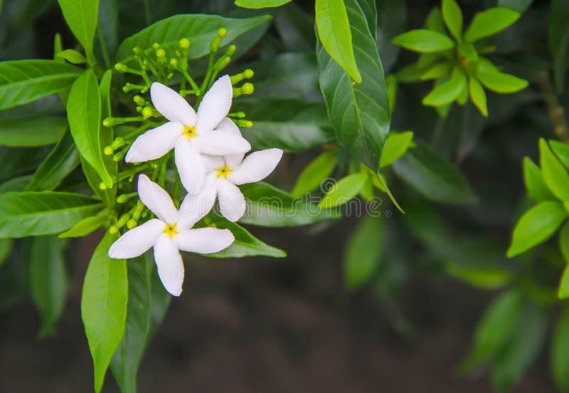 Jasmin blanc de sampaguita fleurissant avec l'inflorescence de bourgeon et la vue supérieure de feuilles vertes à l'arrière-plan  image stock