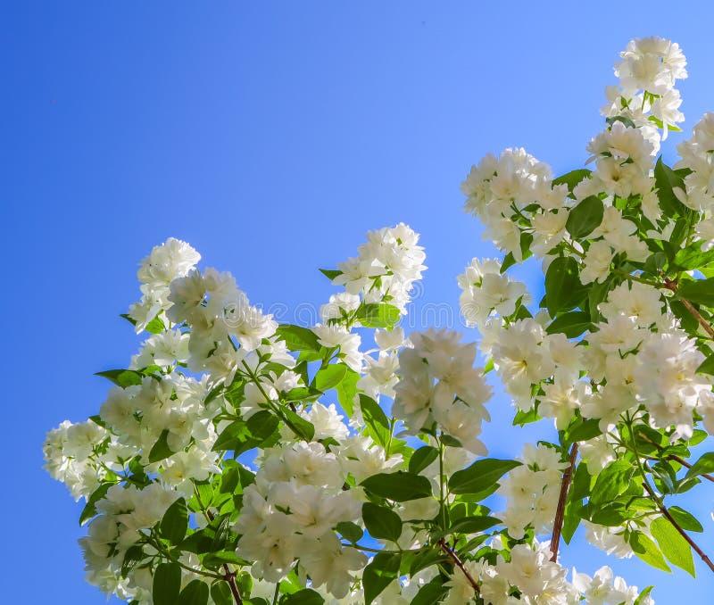 Jasmin blommar i tr?dg?rden Closeup av filialer med vita blommor mot blå himmel arkivbild