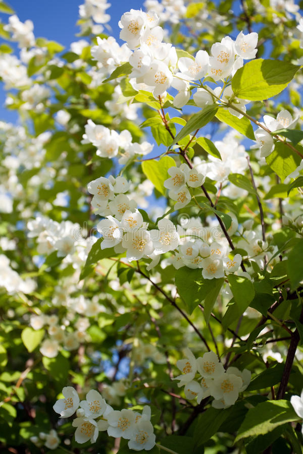 Jasmin blossom tree. Closeup with a lot of white flowers on green leaves and blue sky background royalty free stock photo