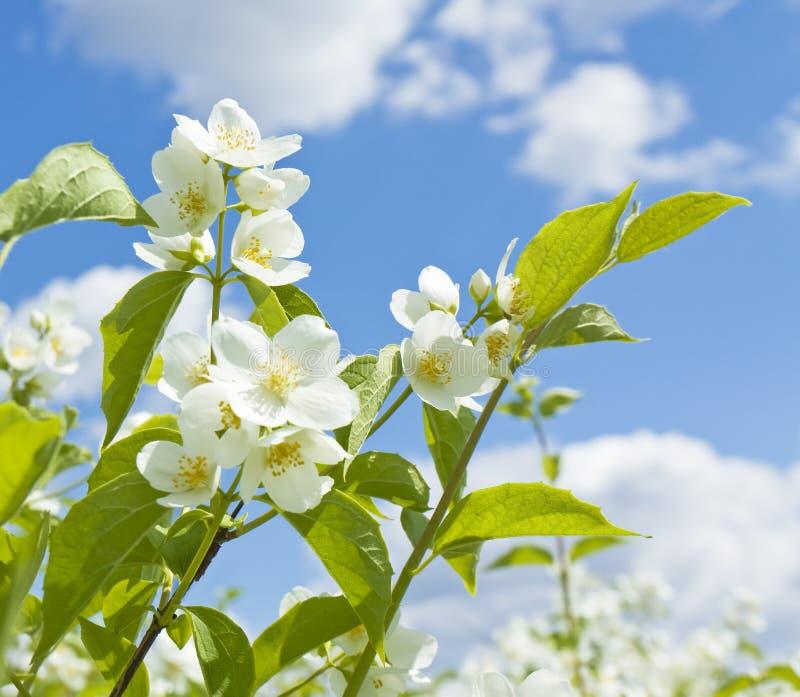 Jasmin on blue sky. Flowers of garden Jasmin on blue sky royalty free stock images