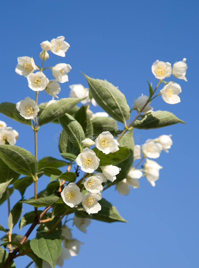 Jasmin branch. Branch of a bush of a blossoming jasmin against the blue sky isolated royalty free stock images