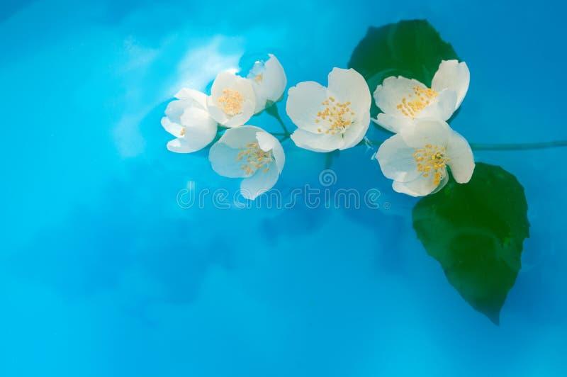 Jasmin brunch in water. Jasmin brunch in blue water stock photography