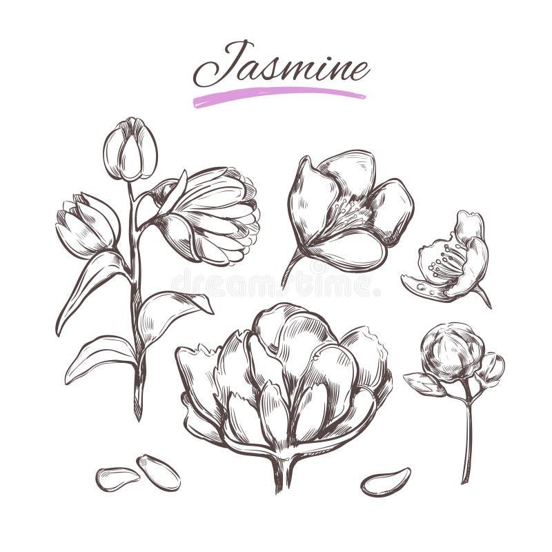 Jasmin Collection de vecteur Herbes et fleurs naturelles Beauté et Ayurveda Produits de beauté organiques illustration stock