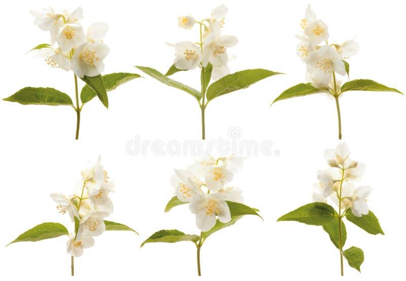 Jasmin de floraison image stock