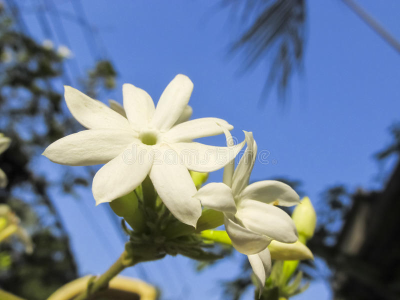 JASMIN FLOWER. In focus on the blue sky background royalty free stock photography