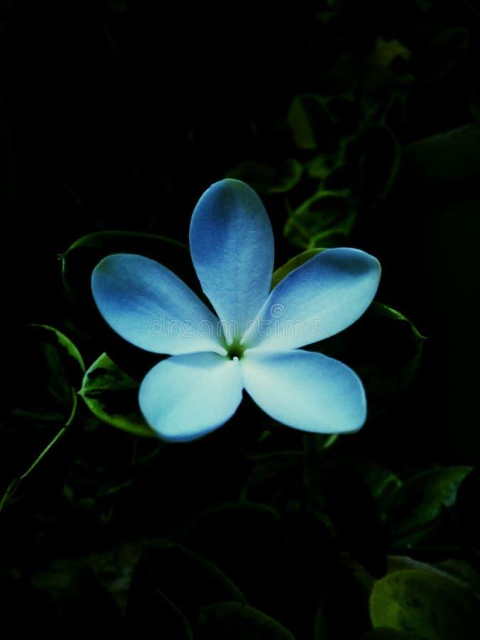 Jasmin flower in light blue light. Flower of jasmin in garden in blue light stock photography