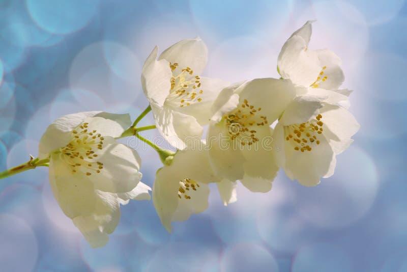 Jasmin flowers. White jasmin flowers on blue background stock photos