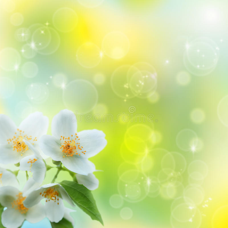 Jasmin flowers. Jasmin flower as abstract natural backgrounds stock photo