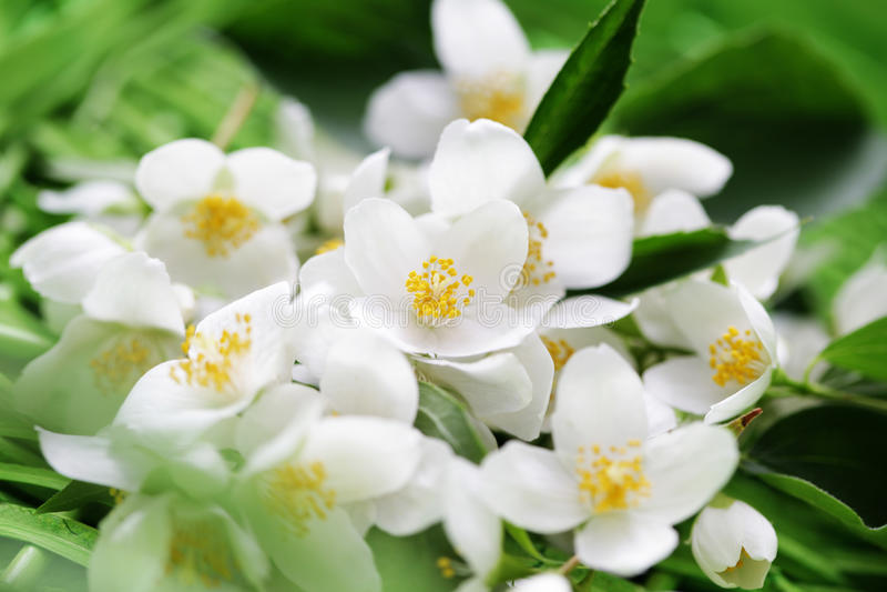 Jasmin flowers stock photo