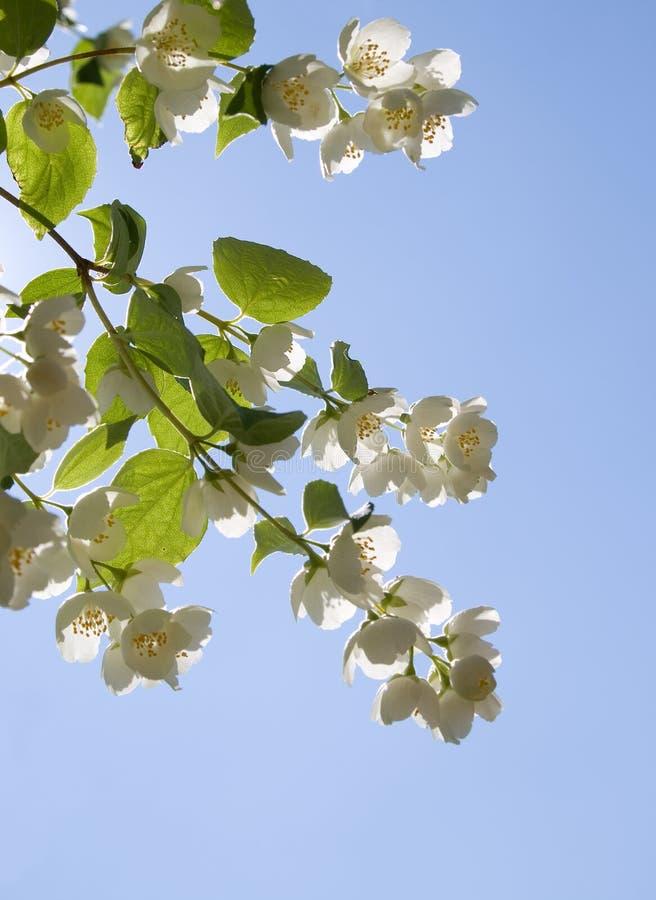 Jasmin flowers. On blue sky background stock photography