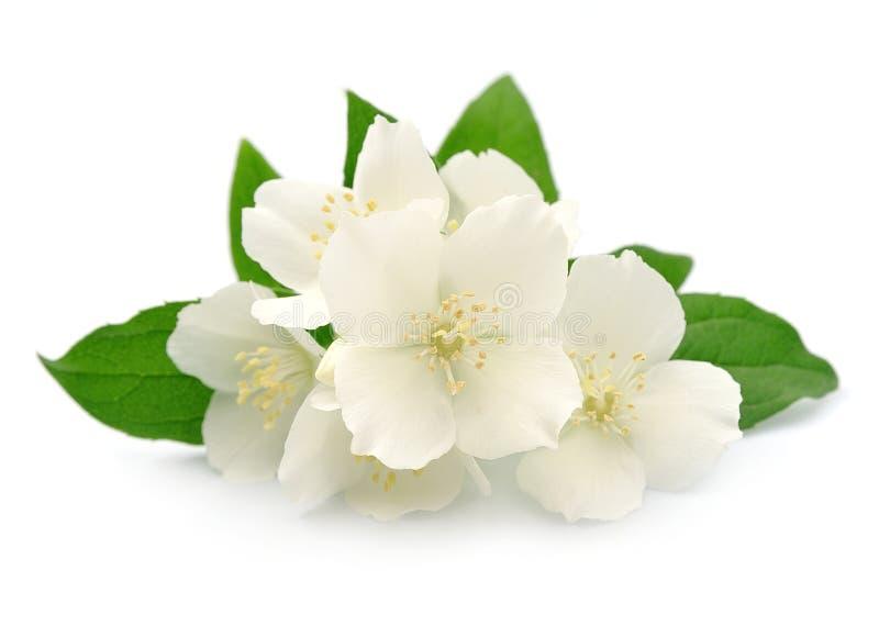 Jasmin flowers. Closeup on white background stock photo