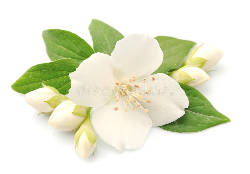 Jasmin flowers. Closeup on white background royalty free stock photos