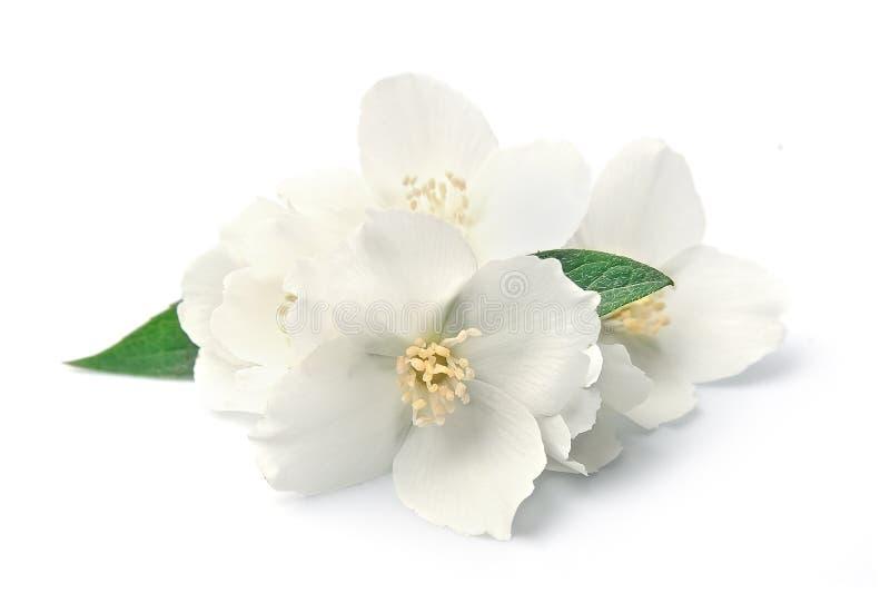 Jasmin flowers. Closeup on white background royalty free stock photography