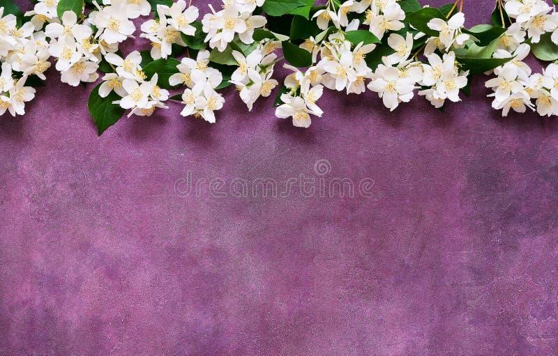 Jasmin, Philadelphus eller åtlöje-apelsin blommor gränsar på violett bakgrund Kopieringsutrymme, b?sta sikt Bl?tthav, Sky & moln arkivbilder