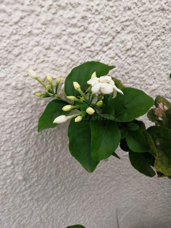 Jasmin. Tunisia, garden, plant, summer stock image