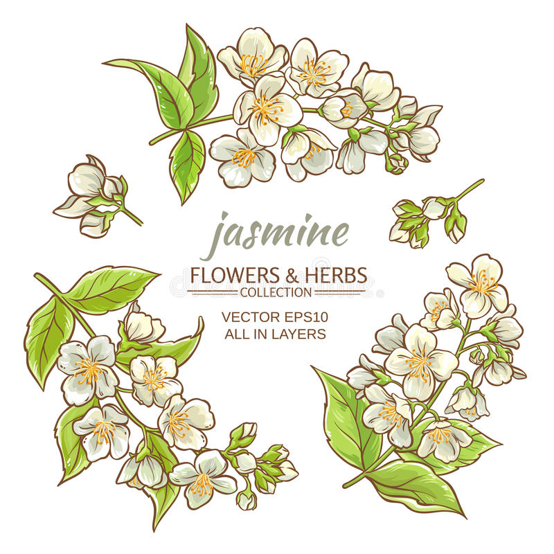 Download Jasminblommauppsättning vektor illustrationer. Illustration av floror - 76700294