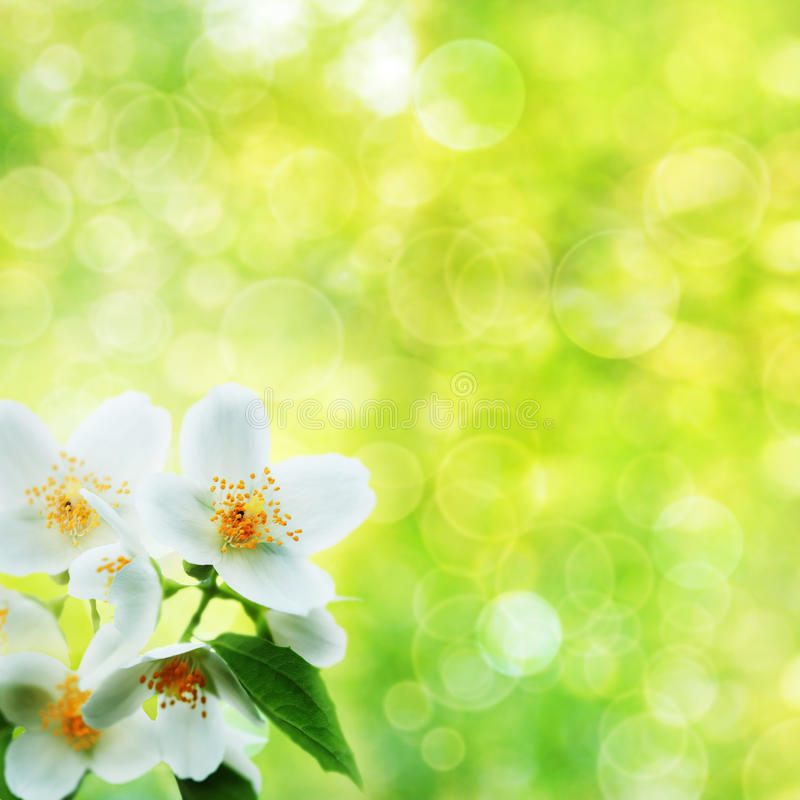 jasmine λουλουδιών στοκ φωτογραφία