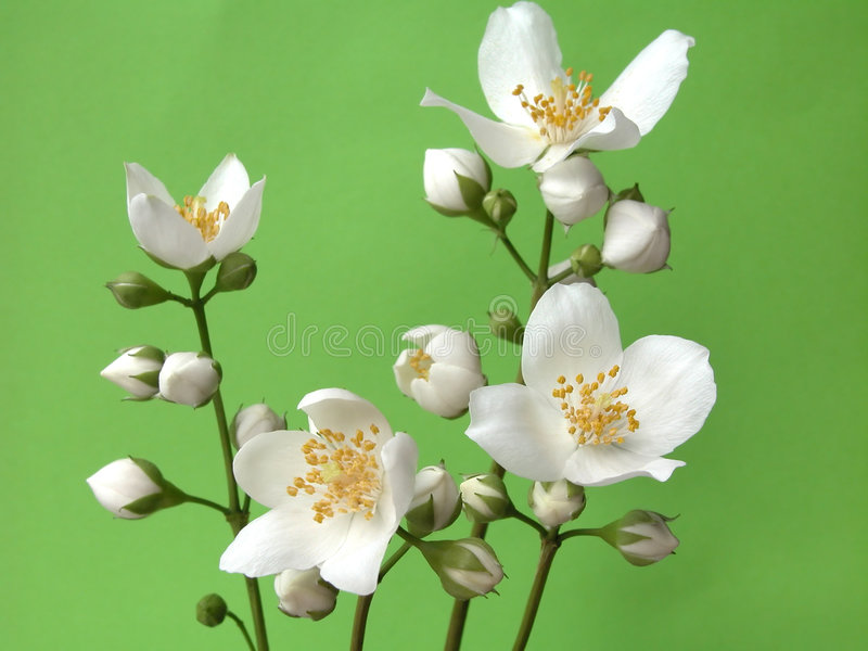 Download Jasmine stock photo. Image of aromatherapy, flowers, smell - 140430
