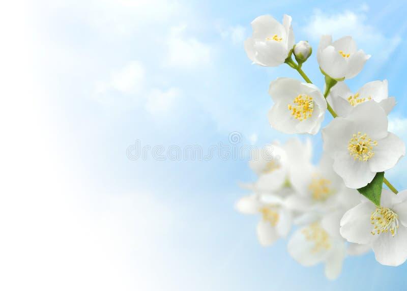 jasmine στοκ εικόνα με δικαίωμα ελεύθερης χρήσης