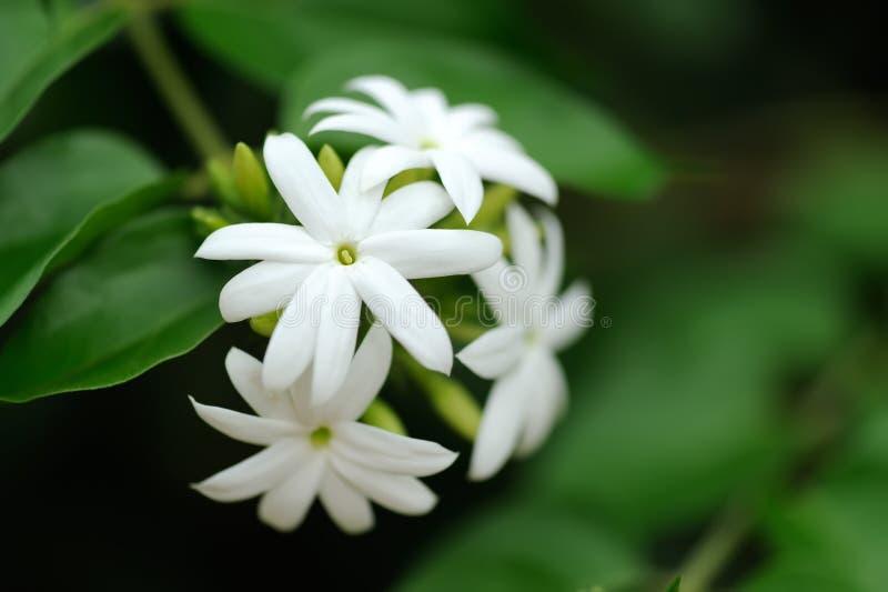 Jasmine στοκ εικόνα