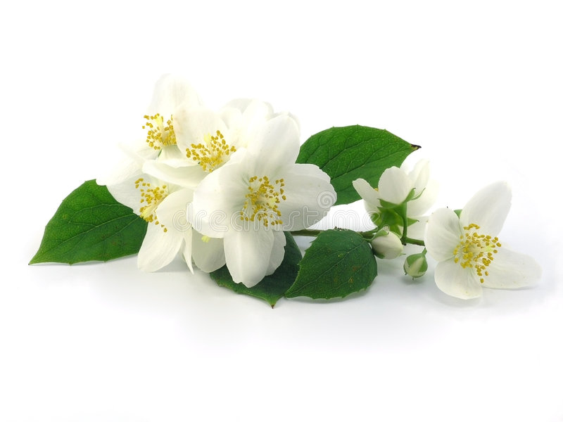 Download Jasmine stock photo. Image of fresh, branch, spring, blossom - 6975160