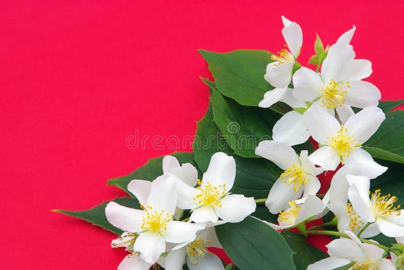 Jasmine royalty free stock images