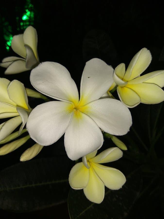 Jasmine στοκ εικόνες με δικαίωμα ελεύθερης χρήσης