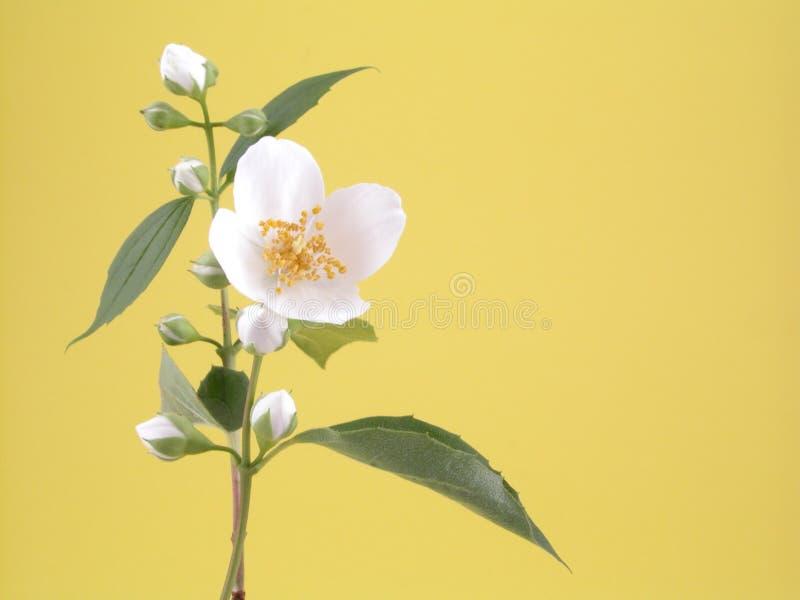 jasmine στοκ εικόνες