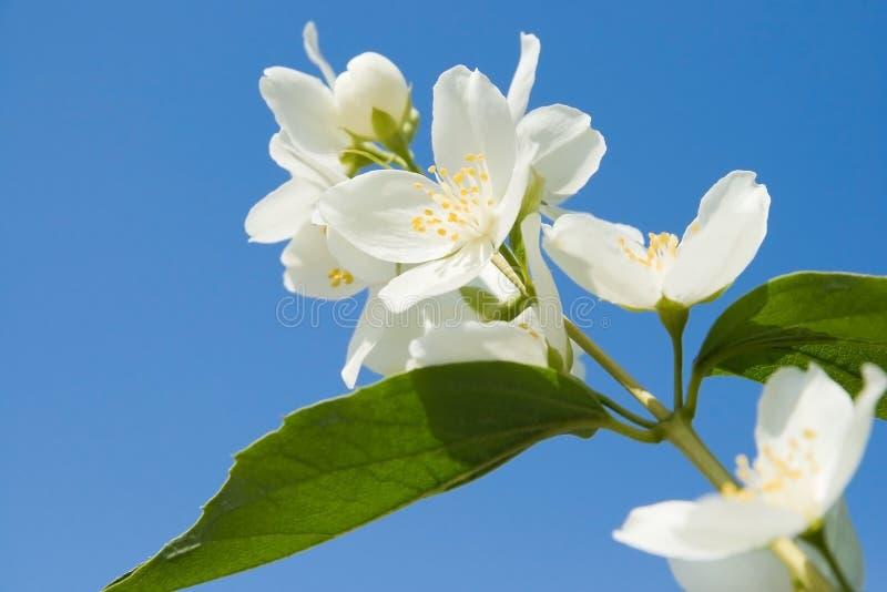 Jasmine against blue sky. Iasminum officinale against blue sky stock images