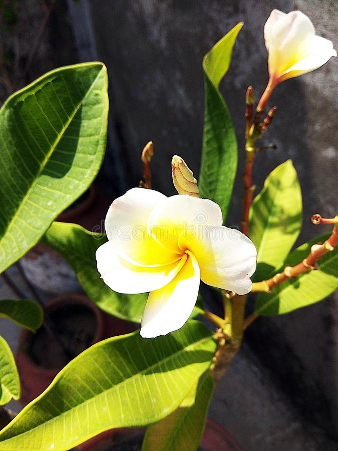 Jasmine Bloom. Jasmine looking fresh in early morning. Bloomy and delight to watch stock photography