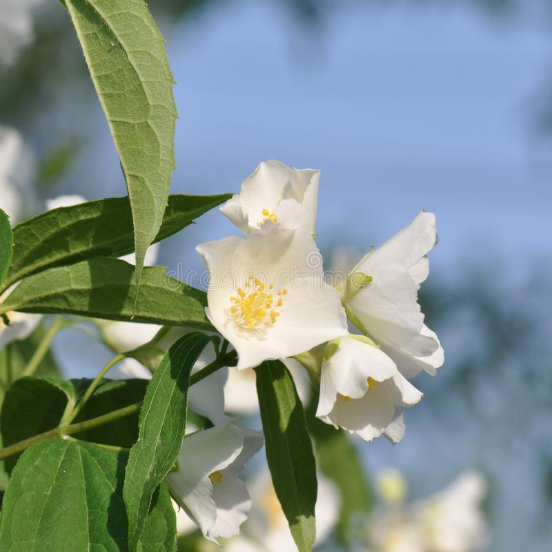 Jasmine Blossom stock fotografie