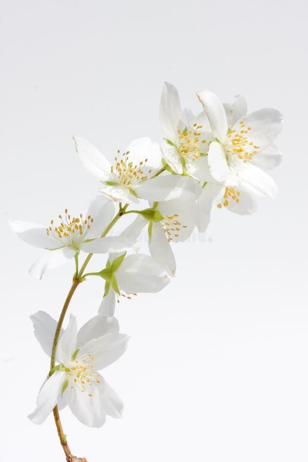 Free Jasmine Blossoms Stock Photo - 14090980