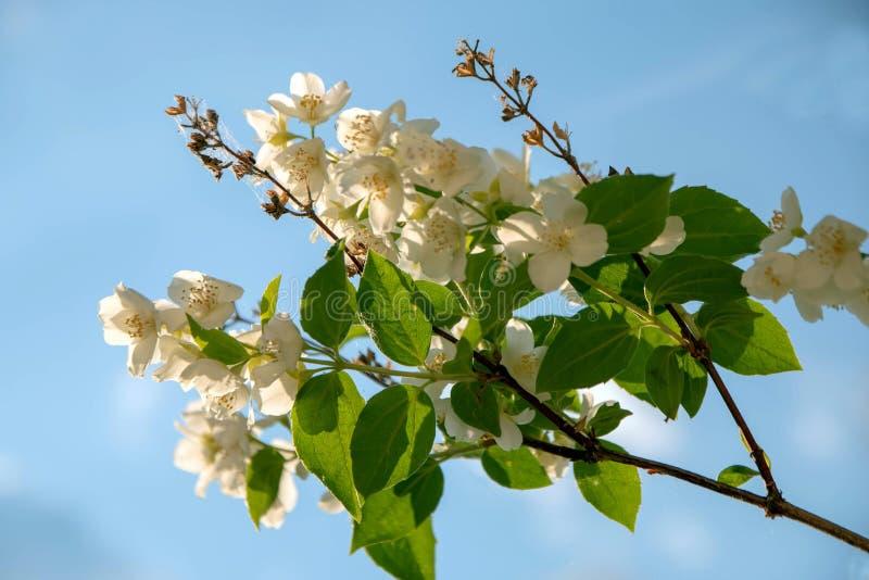 Jasmine branch against, the blue sky. Jasmine branch against the blue sky royalty free stock photo