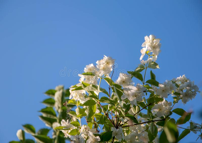 Jasmine branch against, the blue sky, reaching for the sun stock photo
